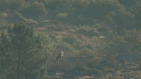 Wild iberian wolf mom with cubs. Super long shot of wild iberian wolf mom with cubs stock footage