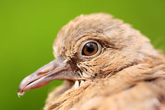 Super Macro of a Baby Dove Stock Photos
