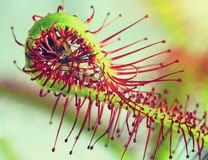 Super macro of beautiful sundew ( drosera ). insect catched by the plan Royalty Free Stock Images