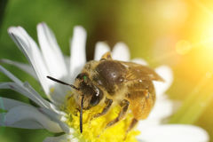 Super macro, bee. On a flower Royalty Free Stock Images