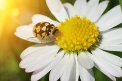 Super macro, beetle. On flower Royalty Free Stock Image