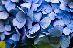 Super macro of a cluster of blue hydrangeas royalty free stock photo