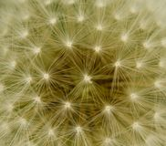 Super macro dandelion Royalty Free Stock Images