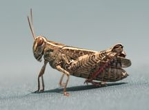 Super macro of a grasshopper Stock Photography