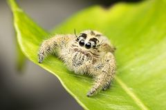 Super Macro Jumping Spider in Tropical Park Stock Images
