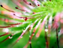Super macro van mooie zonnedauw (drosera) Stock Afbeelding