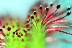 Super macro van mooie zonnedauw (drosera) Royalty-vrije Stock Foto's