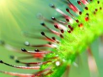 Super macro van mooie zonnedauw (drosera) Royalty-vrije Stock Afbeeldingen
