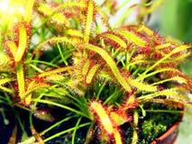Super macro van mooie zonnedauw (drosera) Royalty-vrije Stock Afbeelding