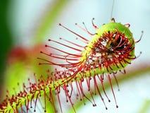 Super macro van mooie zonnedauw (drosera) het insect catched door de installatie Stock Afbeelding