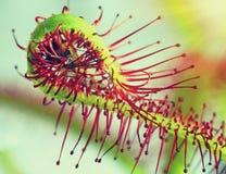 Super macro van mooie zonnedauw (drosera) het insect catched door het plan Royalty-vrije Stock Afbeeldingen