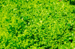 The Super miraculous peak of lettuce along the super good day. The peak of lettuce in front of my green yard it can use to build your business motivated life Royalty Free Stock Photos