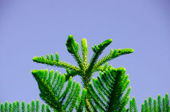 The Super miraculous peak of pine tree along the super good day. Royalty Free Stock Photos