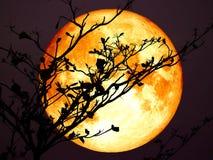 super Mondrückseitenschattenbildniederlassungs-Baumbewölkter himmel des vollen Bluts Lizenzfreie Stockfotos