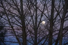 Super Moon at dusk prior to blood moon eclipse tree branches in foreground. Super moon raising above a ridge at sunset on New Years Eve on a ranch in Paso Robles royalty free stock photo