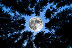 Super Moon Pine trees silhouette Royalty Free Stock Image