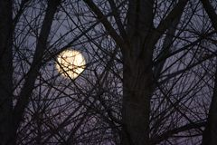 Super Moon at sunset prior to blood moon eclipse tree branches in foreground. Super moon raising above a ridge at sunset on New Years Eve on a ranch in Paso stock photos