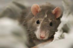 Super nette Haustier-Ratte stockfotos