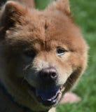 Super netter Chow Puppy Panting vom Sun lizenzfreie stockfotos