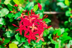 Super Różowy Ixora Zachodniego indianina jaśmin Zdjęcie Royalty Free