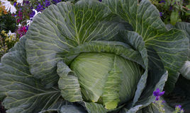 Super-sized Alaskan Cabbage Royalty Free Stock Photography