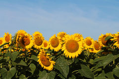 Super Sized Sunflower Heads in Field Under Blue Sky Stock Image