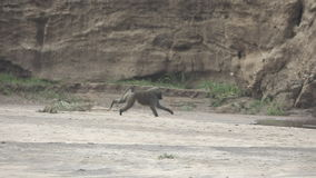 Super slow motion of baboon running on dry river stock video