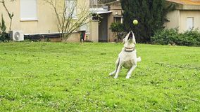 Super slow motion of a white dog catching a tennis ball stock video footage