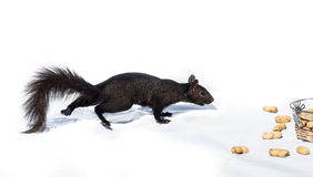 Super sneaky stealth squirrel. Royalty Free Stock Image