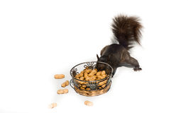 Super sneaky stealth squirrel tries the hard way. Royalty Free Stock Photos