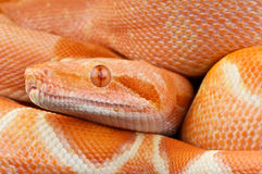 Super Sunglow Boa constrictor Stock Photos