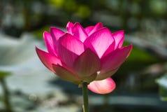 Super very large lotus flower. Pink miracle. Volga Delta. Royalty Free Stock Photo