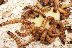 Super Worms Eating a Potato Stock Image