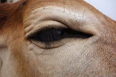 Super zbliżenie krowy oko Obrazy Royalty Free