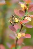 Supera del ottawensis del Berberis y la abeja Imagen de archivo libre de regalías