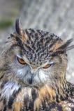 superb övre för tät owl för örn europeisk royaltyfri bild