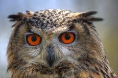 superb övre för tät owl för örn europeisk royaltyfria bilder