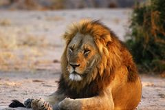 Superb Adult male lion leads the pride. Supreme African wildlife at it`s best in the savanna of Botswana, a pride of lions are the top predators royalty free stock images