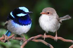Superb Blue Fairy Wrens. A pair of superb blue fairy wrens - malurus cyaneus - both male (left) and female (right) are shown clearly so it has great stock photography