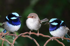 Superb Blue Fairy Wrens. A pair of superb blue fairy wrens - malurus cyaneus - both male (left) and female (right) are shown clearly so it has great stock image