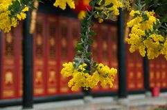 Acacia podalyriifolia, yellow flowers in blooming isolated on blurred traditional Chinese wooden house stock photography