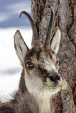 Superb Chamois in the National Park, Aosta Stock Images