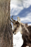 Superb Chamois in the National Park, Aosta Stock Photos