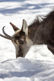 Superb Chamois in the National Park, Aosta Royalty Free Stock Photo