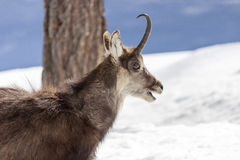 Superb Chamois in the National Park, Aosta Royalty Free Stock Photography