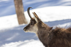 Superb Chamois in the National Park, Aosta Royalty Free Stock Images