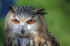 Superb close up of European Eagle Owl Stock Image