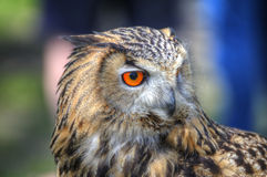 Superb close up of European Eagle Owl Royalty Free Stock Photo