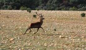Superb deer Royalty Free Stock Photo