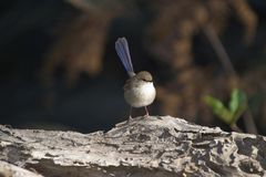 Superb Fairy-wren. Young male fairy-wren on old log taken on South coast of NSW Royalty Free Stock Photography